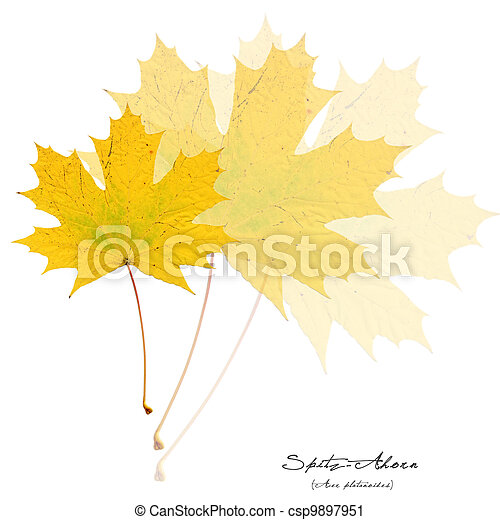 Collage with yellow acer leaves - csp9897951