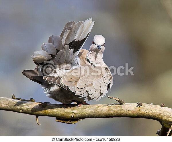 Collared Dove,Streptopelia decaoct - csp10458926