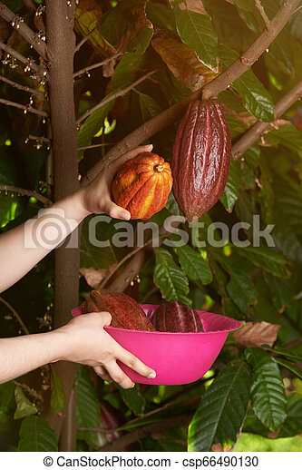 Collecting colorful cacao ready fruits - csp66490130