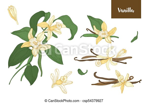 Collection of botanical drawings of vanilla plants with fruits or pods, blooming flowers and leaves isolated on white background. Colorful vector illustration hand drawn in elegant antique style. - csp54379927
