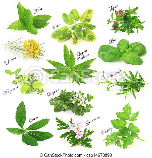 Collection of fresh aromatic herbs - csp14678890