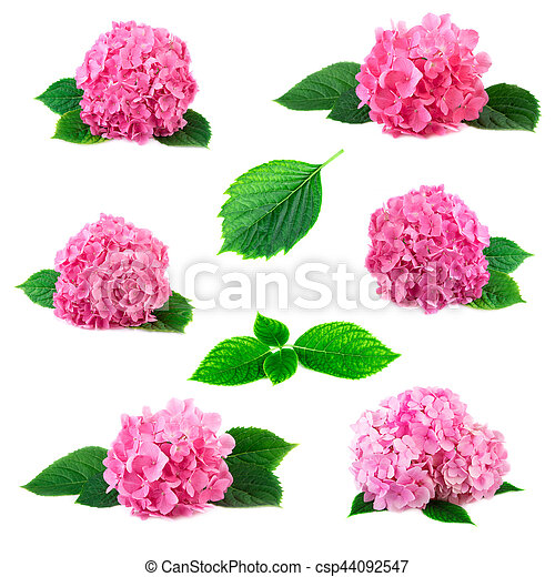 Collection Of Hydrangea Hortensia Flowers With Green Leaves Isolated - Color-hortensia