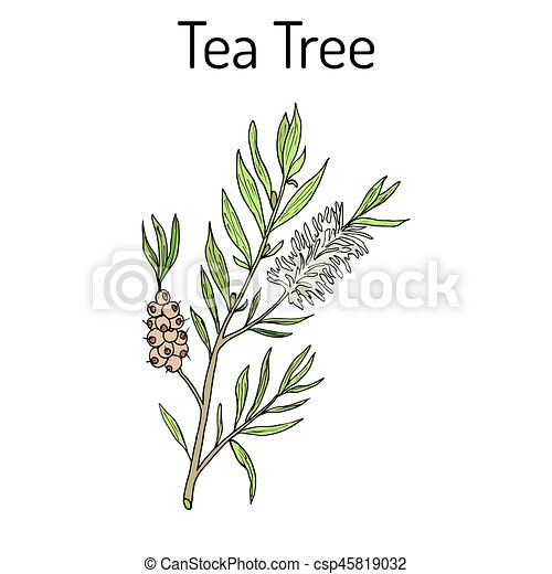 Collection Of Tea Tree Cosmetics And Medical Plant Hand Drawn