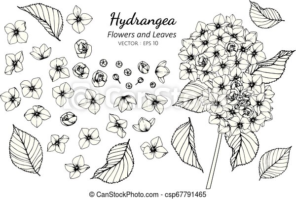 Collection set of hydrangea flower and leaves drawing illustration. - csp67791465