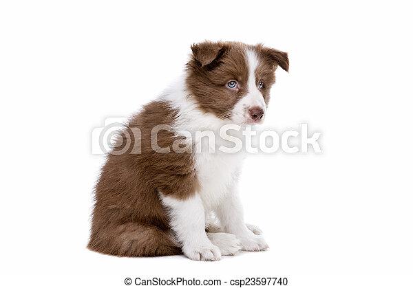 collie hund, hintergrund, front, weißes, junger hund, umrandungen - csp23597740