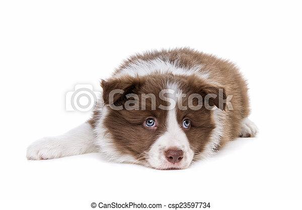 collie hund, hintergrund, front, weißes, junger hund, umrandungen - csp23597734