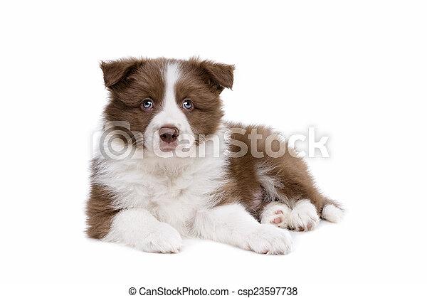collie hund, hintergrund, front, weißes, junger hund, umrandungen - csp23597738