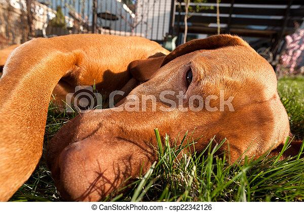 Perro tirado en la hierba - csp22342126