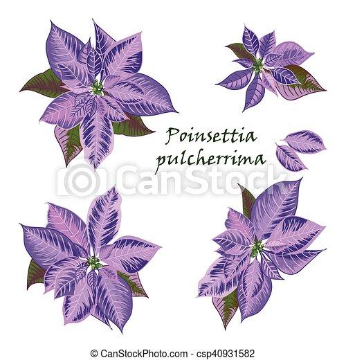 Color Flores Conjunto Flor De Nochebuena Violeta Symbols