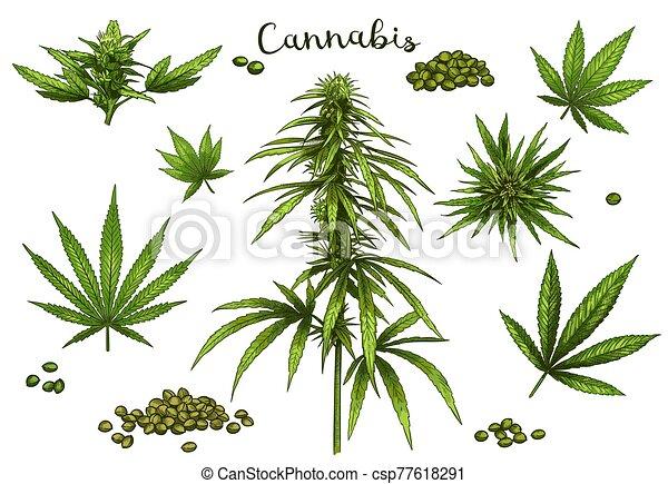 Color hand drawn cannabis. Green hemp plant seeds, sketch cannabis leaf and marijuana bud vector illustration set - csp77618291