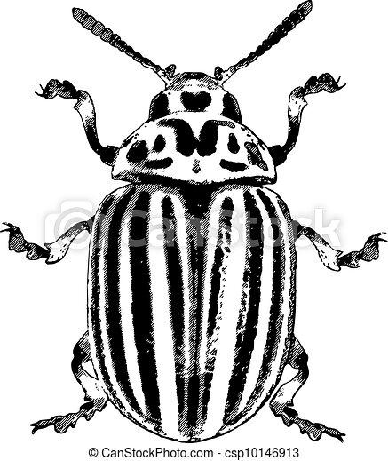 colorado beetle vector illustration colorado potato vector rh canstockphoto com beetle clipart images vw beetle clipart