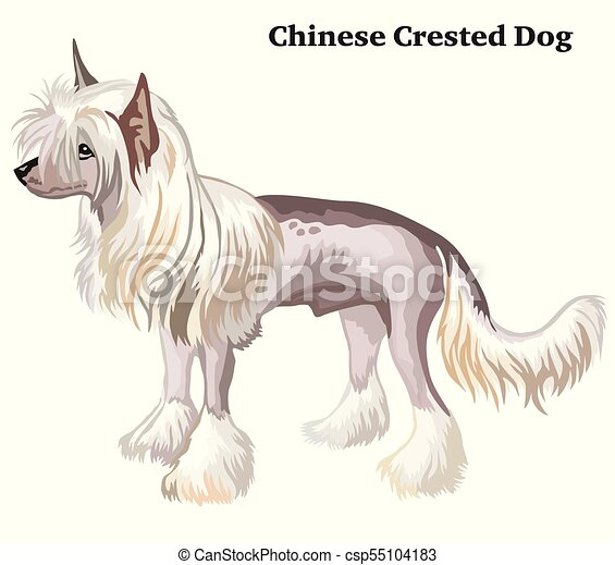 Colored decorative standing portrait of Chinese Crested Dog vector illustration - csp55104183