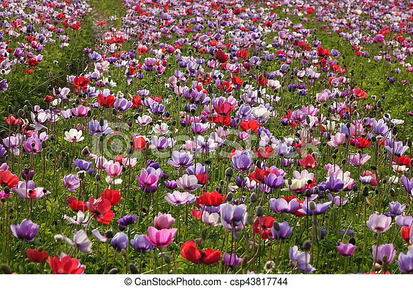 Colored flowers flowerfield red pink purple red pink purple colored flowers flowerfield red pink purple csp43817744 mightylinksfo