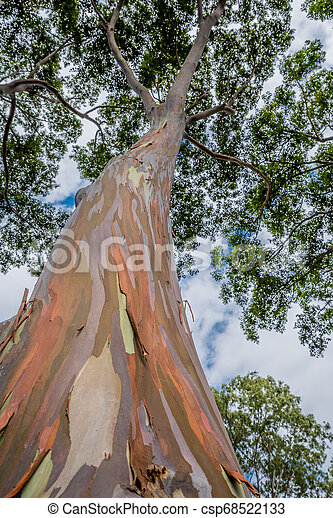 Colorful And Tall Rainbow Eucalyptus Tree On Oahu Hawaii Canstock