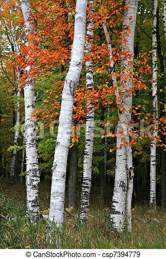 Colorful Aspen Birch Tree - csp7394779