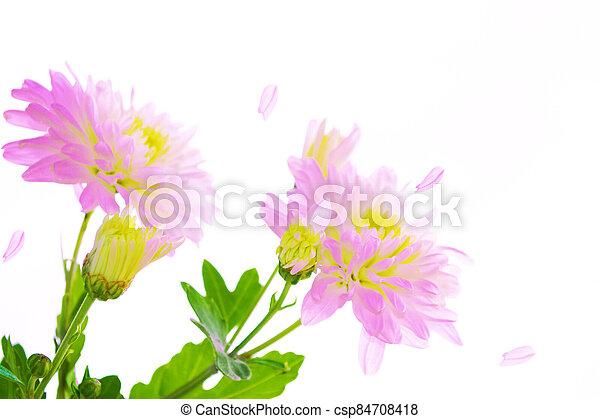 Colorful autumn flowers of chrysanthemum - csp84708418