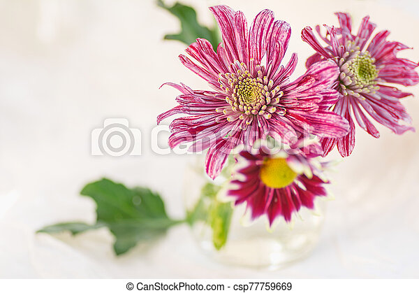colorful bouquet of chrysanthemums on a light background pink colors macro selective focus - csp77759669