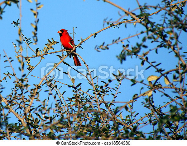 Colorful Cardinal in a Tree - csp18564380