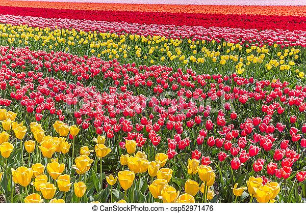 Colorful field of tulips in Noordoostpolder - csp52971476
