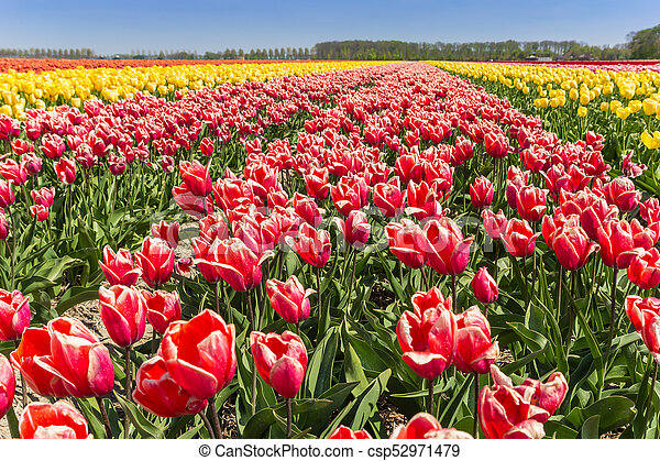 Colorful field of tulips in Noordoostpolder - csp52971479