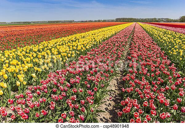 Colorful field of tulips in Noordoostpolder - csp48901948