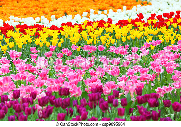 colorful field of tulips - csp9095964
