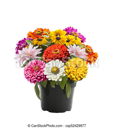 Colorful flowers in a flower pot - csp52429977