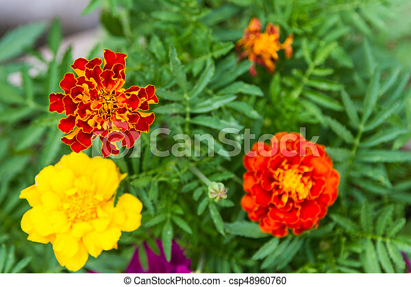 Colorful flowers of marigolds - csp48960760