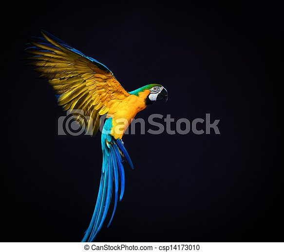 Colorful flying Ara on a dark background - csp14173010