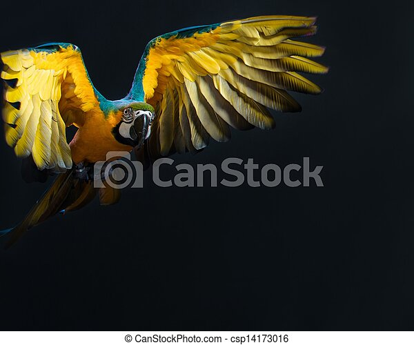 Colorful flying Ara on a dark background - csp14173016