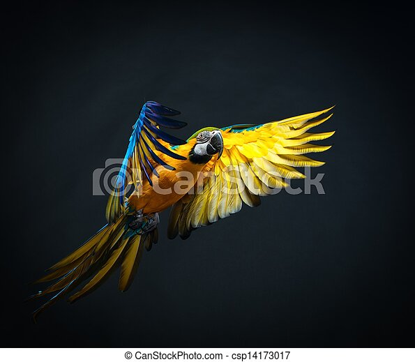 Colorful flying Ara on a dark background - csp14173017