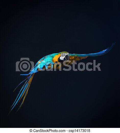Colorful flying Ara on a dark background - csp14173018