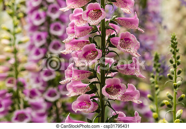 Close up of colorful foxglove flowers colorful foxglove flowers csp31795431 mightylinksfo