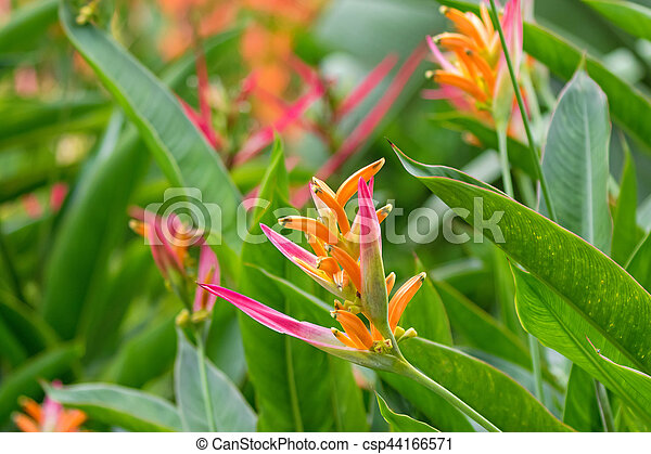 Closeup photo of colorful heliconia psittacorum sassy pink colorful heliconia psittacorum sassy pink yellow red flowers in the garden in singapore csp44166571 mightylinksfo Images