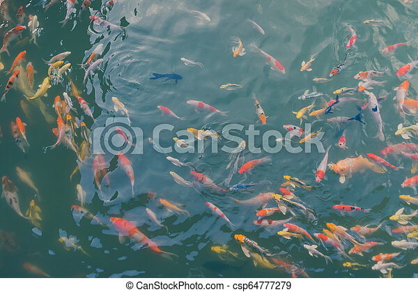 Colorful Japanese Koi Carp Fishes Moving In A Lovely Pond Of A Garden With Shadow And Light Reflection