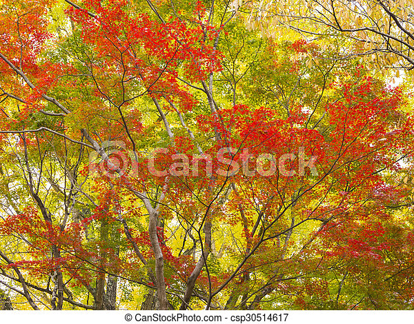 Colorful Japanese Maple Trees In Japan Colorful Japanese Maple