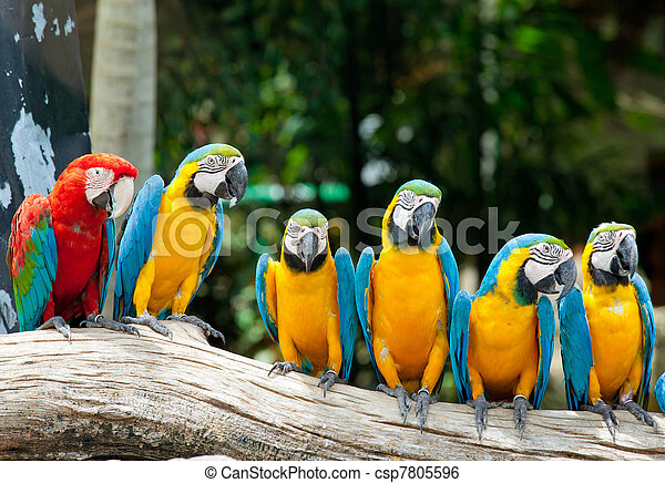 colorful macaws - csp7805596