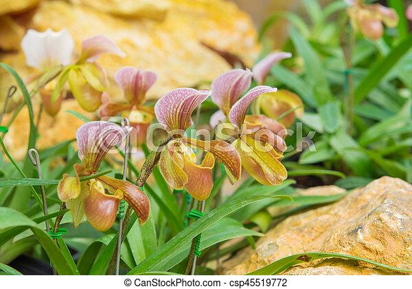 colorful of lady's slipper orchid in Beautiful garden (Paphiopedilum Callosum) - csp45519772