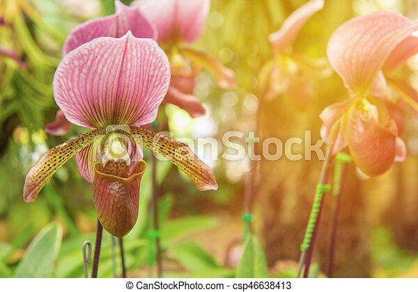 colorful of lady's slipper orchid in Beautiful garden (Paphiopedilum Callosum) - csp46638413