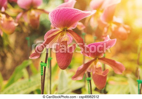 colorful of lady's slipper orchid in Beautiful garden (Paphiopedilum Callosum) - csp48982512