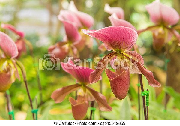 colorful of lady's slipper orchid in Beautiful garden (Paphiopedilum Callosum) - csp45519859