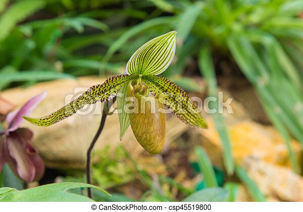 colorful of lady's slipper orchid in Beautiful garden (Paphiopedilum Callosum) - csp45519800