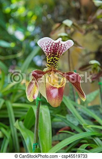 colorful of lady's slipper orchid in Beautiful garden (Paphiopedilum Callosum) - csp45519733