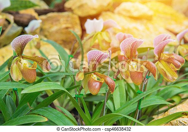 colorful of lady's slipper orchid in Beautiful garden (Paphiopedilum Callosum) - csp46638432