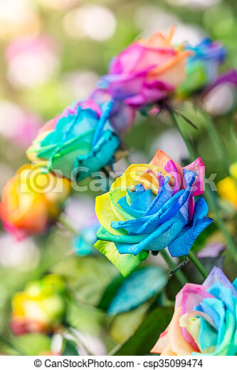 Colorful of rainbow roses flower. Macro of rainbow roses with multi colored petals - csp35099474