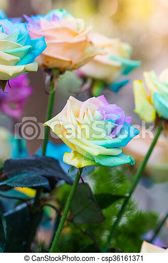 Colorful of rainbow roses flower. Macro of rainbow roses with multi colored petals - csp36161371