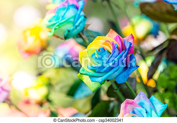 Colorful of rainbow roses flower. Macro of rainbow roses with multi colored petals - csp34002341