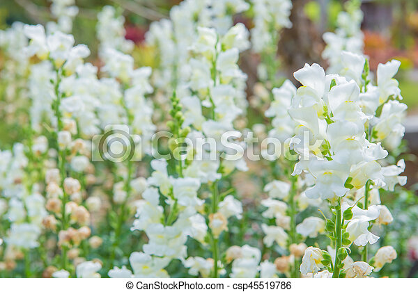 Colorful of white snapdragon flower in beautiful garden pictures colorful of white snapdragon flower in beautiful garden csp45519786 mightylinksfo