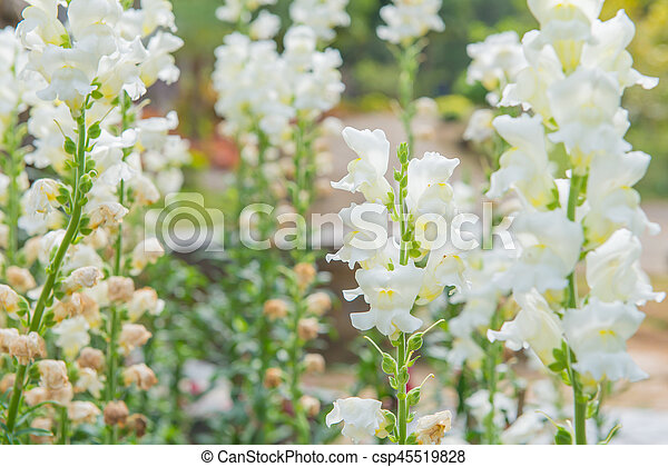 Colorful of white snapdragon flower in beautiful garden mightylinksfo