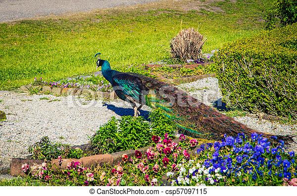 Colorful peacock in South Carolina - csp57097115